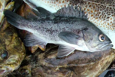Pin rock cod on pinterest for Rock cod fish